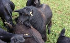 贵州毕节地方特色黑山羊——赫章黑马羊