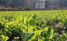贵州龙里特产——龙里豌豆尖