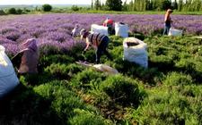 法国普罗旺斯农夫收割千亩薰衣草