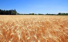 法国上调玉米和小麦及油菜籽预期产量