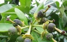 沙田柚病虫害有哪些?沙田柚常见病虫害的防治方法