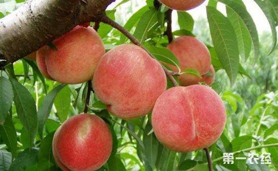 水蜜桃什么时候成熟?水蜜桃的成熟时间和种植技术
