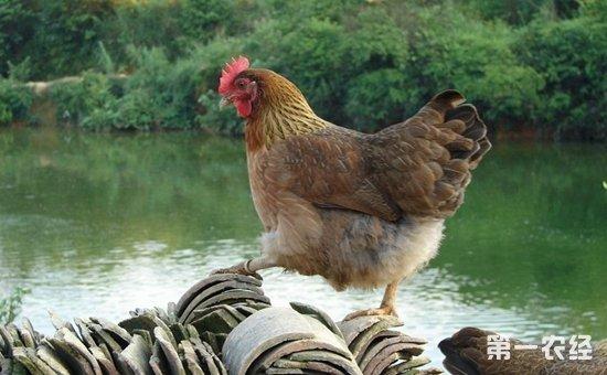 柴鸡和麻鸡有什么区别?柴鸡和麻鸡品种的差异
