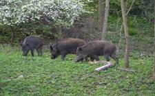 野猪的生活特点是怎样的?野猪的生活习性