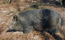 怎么养好特种野猪?特种野猪的提纯复壮方法