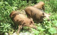 特种野猪养殖要如何选择合适的饲料?特种野猪青绿饲料的选择技术