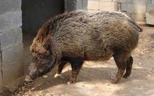 <b>特种野猪的养殖需要注意哪些?特种野猪养殖的六大误区</b>