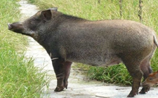 <b>冬季野猪养殖怎么管理?冬季野猪养殖场的采暖措施</b>