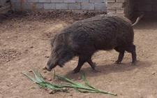 <b>怎样建造合适的野猪舍?野猪养殖场圈舍建造方法</b>