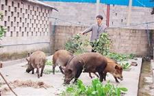 野猪养殖为什么不赚钱?发展野猪养殖不赚钱的原因
