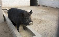 野猪养殖场怎样进行消毒?野猪养殖场消毒的几大误区