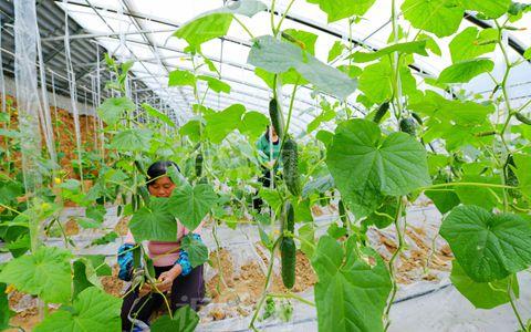 辽宁凌源积极推进设施蔬菜绿色发展