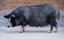 辽宁普兰店地方猪种——新金猪