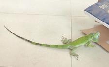 福建南安发现绿鬣蜥 目前已送至泉州海丝野生动物世界
