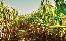 2017年美国玉米收获面积8000余万英亩