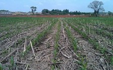 <b>吉林:玉米地里种蘑菇 秸秆还田肥黑土</b>