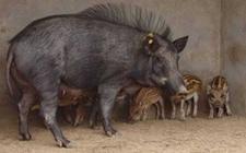野猪的养殖成本和养殖效益如何?养猪养殖成本和利润分析