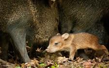 <b>野猪养殖配种需要注意什么?野猪的配种要点</b>
