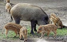 <b>野猪养猪需要注意什么?特种野猪养殖常见问题</b>