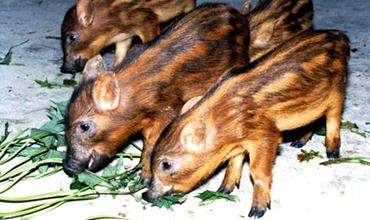 <b>野猪养殖能赚钱吗?野猪养殖的可行性怎么样?</b>
