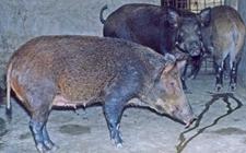 <b>野猪怎么进行驯养?野猪驯养与杂交利用</b>