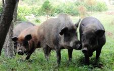 <b>野猪是不是保护动物?野猪野外吃什么食物?野猪破坏庄稼怎么办?</b>