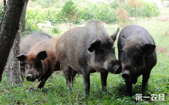 野猪是不是保护动物 野猪野外吃什么食物 野猪破坏庄稼怎么办