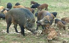 特种公野猪不发情怎么办?特种公野猪不发情原因