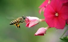 预防盗蜂有哪些措施?处理被盗蜂群的方法