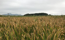 浙江象山:400亩海涂成金黄水稻田 盐碱地改良成效显著