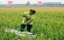 """江苏泗洪:加快生态农业建设 菜农""""钱袋子""""鼓了"""