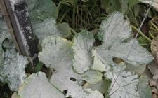 如何防治西葫芦白粉病?西葫芦白粉病的防治方法