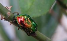 如何防治榛子树病虫害?榛子树常见病虫害的危害和防治方法