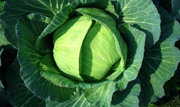 卷心菜什么时候种植好?卷心菜的种植时间和方法