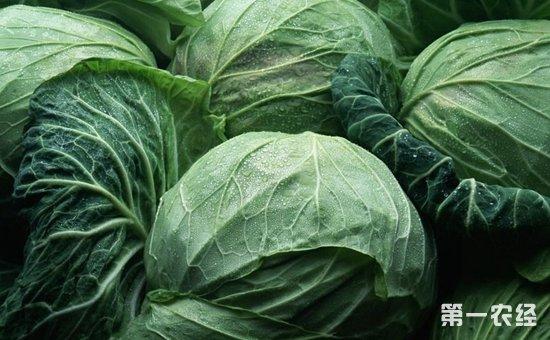 卷心菜该如何种植?大棚卷心菜的种植技术