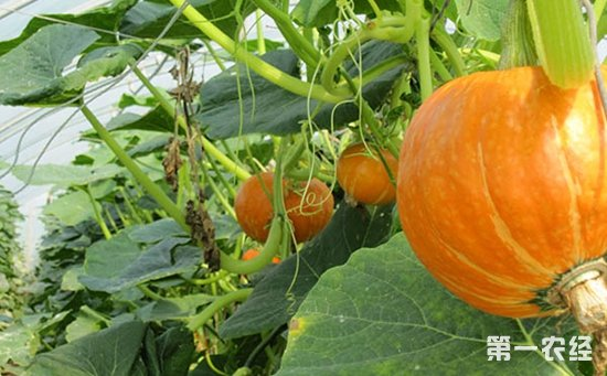 南瓜怎么种植?南瓜的种植技术视频