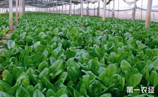 菠菜什么时候种植最好?菠菜的种植技术和时间