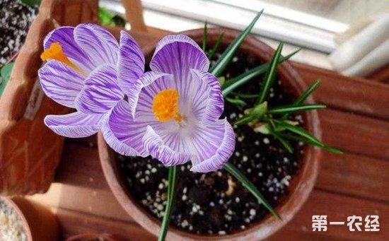 藏红花怎么养?盆栽藏红花的养殖方法和注意事项