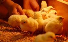 怎样养小鸡不会得病?