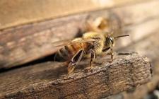 被蜜蜂蛰了怎么办?被蜜蜂蛰了怎么处理?
