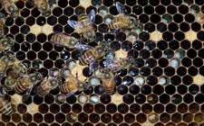 中蜂得了囊状幼虫病怎么办?中蜂囊状幼虫病的防治技术