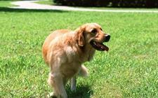 金毛犬要怎么养?不同环境下金毛的饲养方法