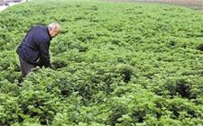 """河南汝阳:艾草成了""""金叶叶儿"""" 年产量达3万吨"""