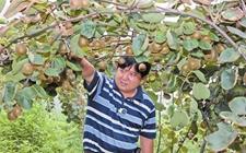 云南水富县:休闲生态农业助力民众增收致富