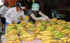 台湾香蕉盛产遭滞销 台军配合采购内部消化