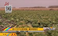 黑龙江绥化市:四十万斤优质白菜遭滞销 菜农望客商来购