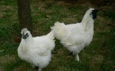 丝羽乌骨鸡多少钱一斤?丝羽乌骨鸡有什么价值?