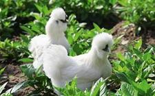 丝羽乌骨鸡的市场前景怎样?