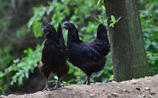 五黑鸡和乌骨鸡是同一品种吗?五黑鸡和乌骨鸡有什么区别?