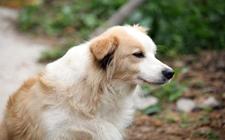 狗狗为什么会翻肠?引起狗狗翻肠子的几种原因